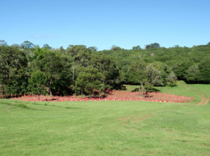 Revegetation site on the Farmhouse Macadamias property
